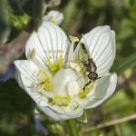 Niet zonder elkaar bloemen en insecten Parnassia met bestuiver zweefvlieg foto Drik Motshagen