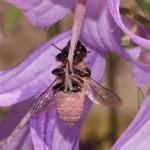 Niet zonder elkaar bloemen en insecten grote bladsnijder Megachile willughbiella f aan de stijl van akkerklokje Campanula rapunculoides foto Pieter van Breugel