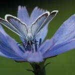 Niet zonder elkaar bloemen en insecten omslagfoto Bernard Fransen heideblauwtje op cichorei